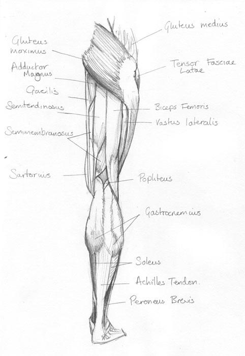 Muscles Of The Leg Chris Iliff Illustration